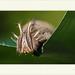 Caligo eurilochus - Forest Giant Owl por J. Amorin