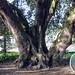 Oak Tree, Parsloes Park, Dagenham