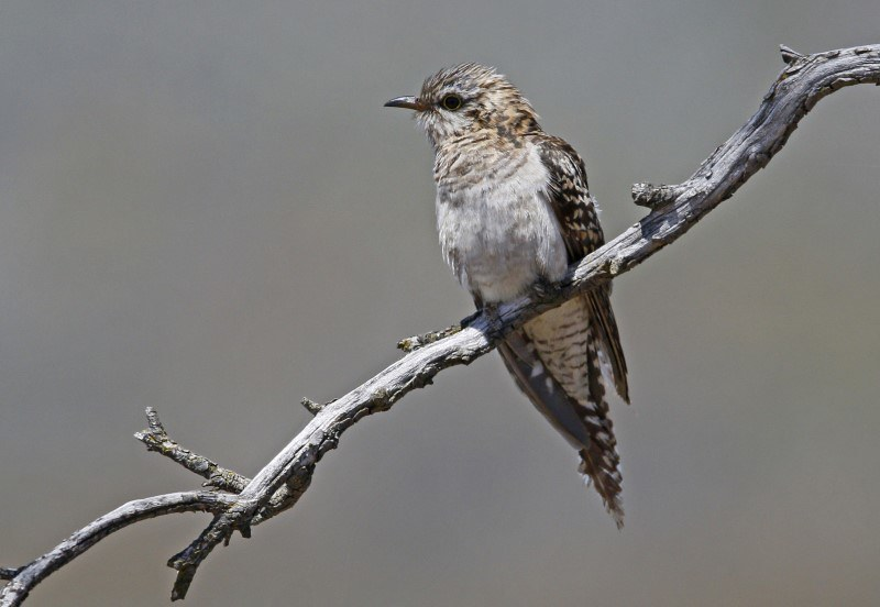 Fan-tailed Cuckoo immature