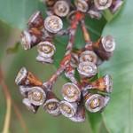 Eucalyptus grandis capsules