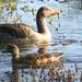 Anser anser Greylag Goose