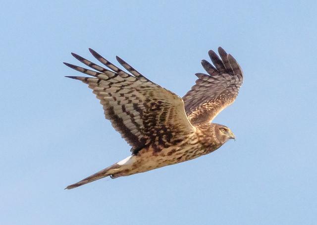 Lady Harrier patrolling