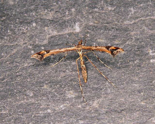 45.010 Amblyptilia acanthadactyla