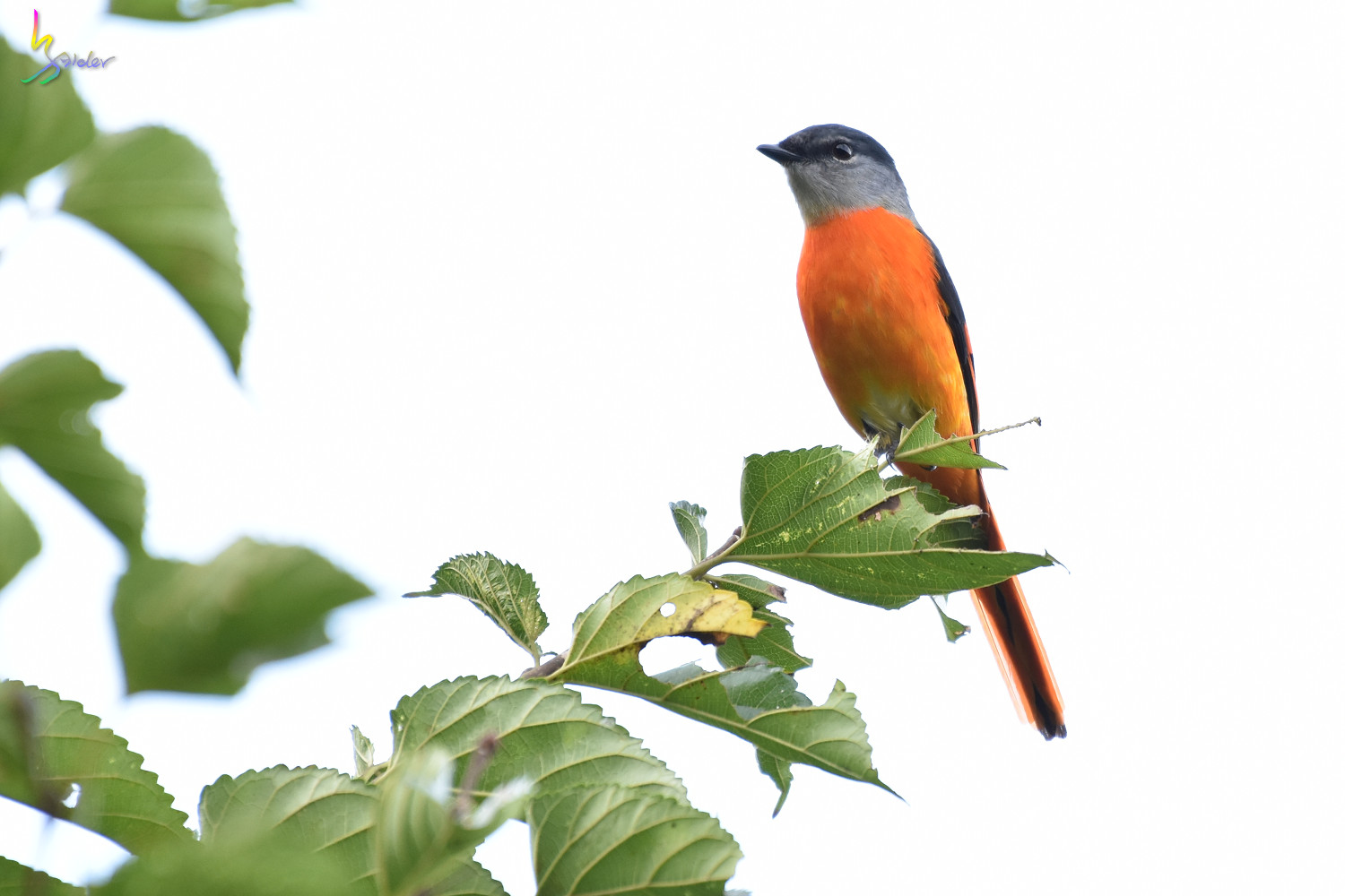 Grey-chinned_Minivet_9671