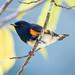 Small photo of American Redstart (m)