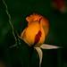 Trois roses dans un vase, une douce ambiance jazz j'imagine tes lèvres... Mais... Je rêve !!! by MGgermano