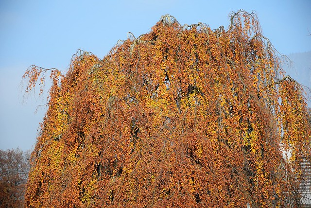 Autumn Tree 17.11.2017