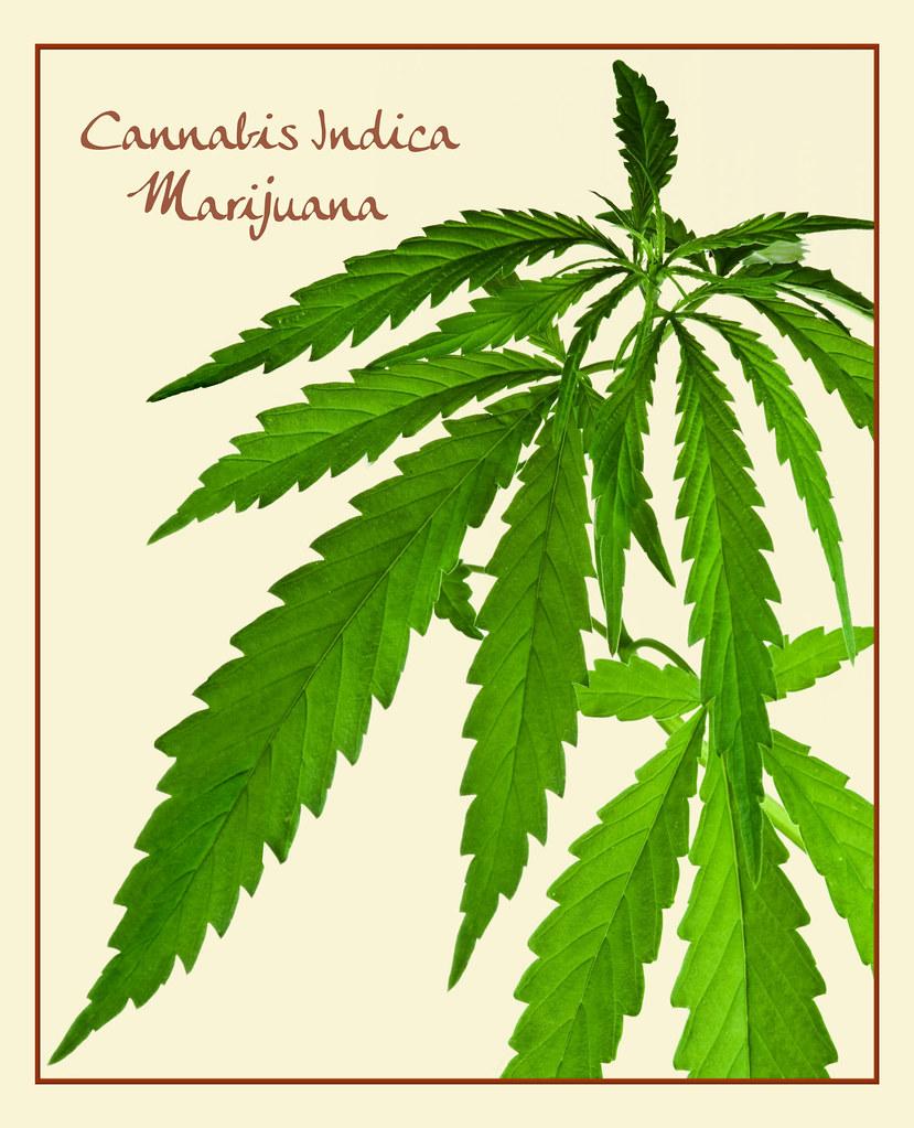Cannabis Indica ~ Marijuana