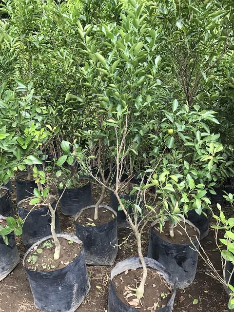 big kalamansi trees