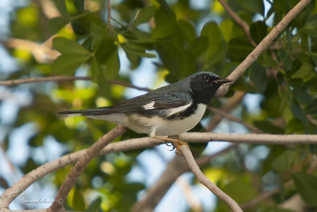 Reinita azulada ( Black-throated Blue Warbler) Setophaga caerulescens (Gmelin, JF, 1789)