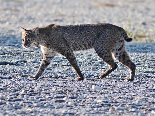 Bobcat 06-20171110