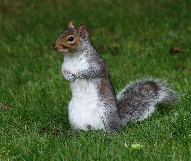Grey Squirrel - Little Poser!