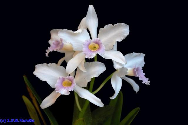 Melhor Laelia purpurata delicata - cultivo Daniel Chambart
