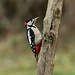 Great Spotted Woodpecker ----Dendrocopos major