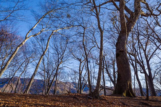 ミズナラの巨木と書かれた付近の大木