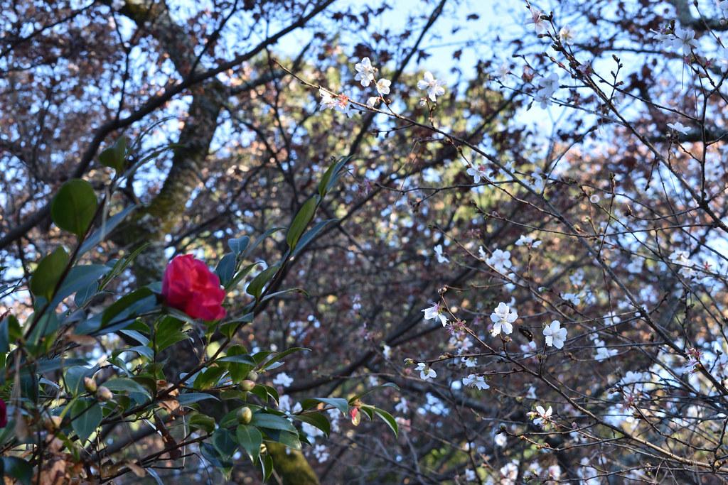 サザンカと冬桜