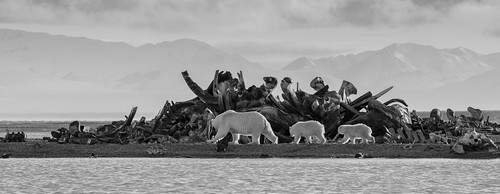 Polar Bears walking past the Bone Pile