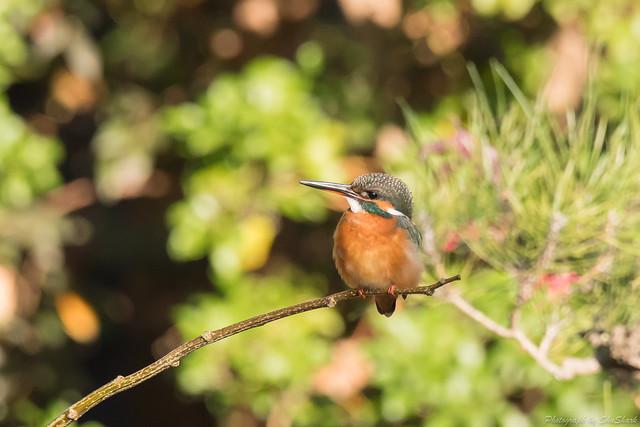 20171210-kingfisher-DSC_0581