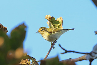 Yellow-browed Warbler, Kilminning, Fife, Scotland
