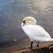 Southmere Park Swan
