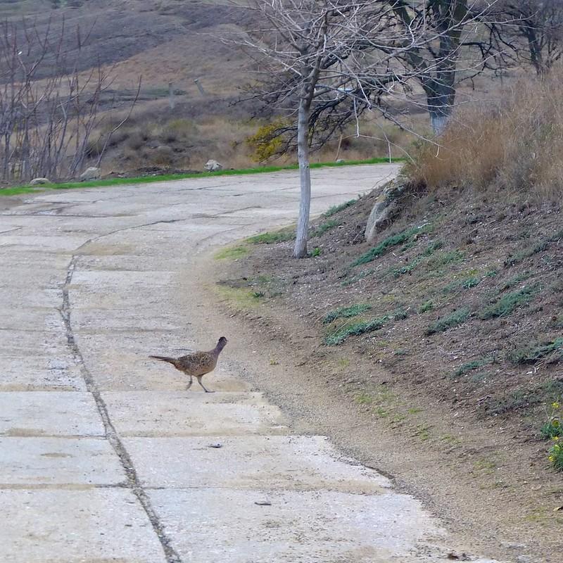 Керчь, фазаны - 4