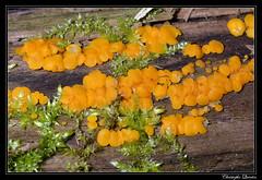 Bisporelle citrine (Bisporella citrina)
