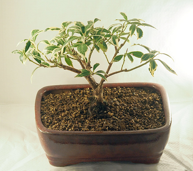 Pieris japonica bonsai