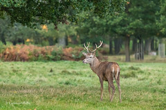 Youngish Red Deer Stag D85_0579.jpg