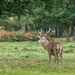 Youngish Red Deer Stag D85_0579.jpg by Mobile Lynn (back and catching up)