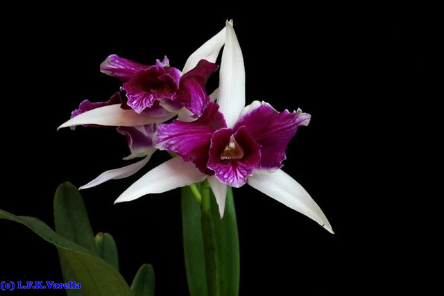Laelia purpurata trilabelo - cultivo Leandro Wendler