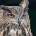 Falconry Day 2017 - Eagle Owl by ken_davis