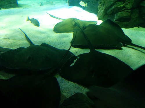 Stingrays (3) #toronto #ripleysaquarium #aquarium #rays #stingray #latergram