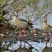 Egyptian Goose-----Alopochen aegyptiaca