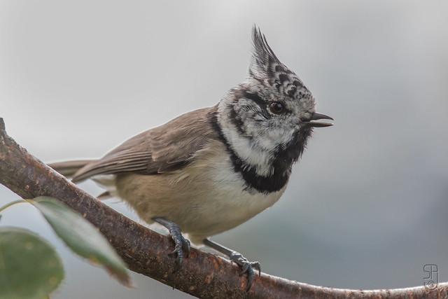 Northern Crested Tit (Lophophanes cristatus)-9926