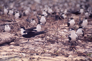 Sooty terns in dead Ipomoea pes-caprae. Latham Island