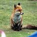 Fox (5)