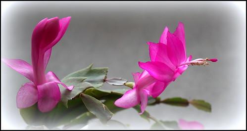 dernières fleurettes de l'année - Page 2 27244683149_9b3f318bc1