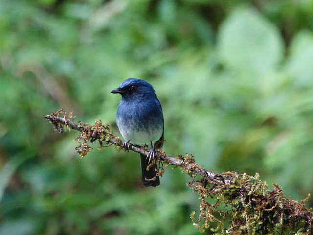 White Bellied Blue Fly-catcher