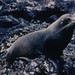 New Zealand fur seal on Macquarie Island