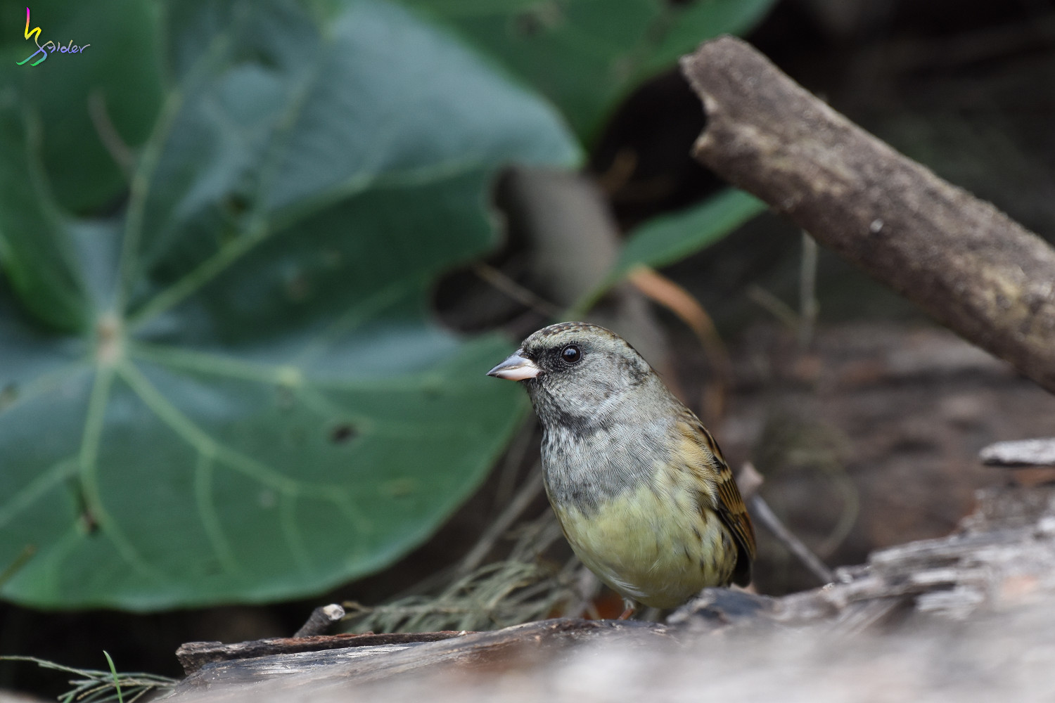 Black-faced_Bunting_7717