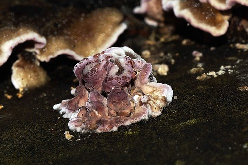 Chondrostereum purpureum - Paarse korstzwam