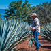 2017 - Mexico - Tequila - Blue Agave Plants por Ted's photos - For Me & You
