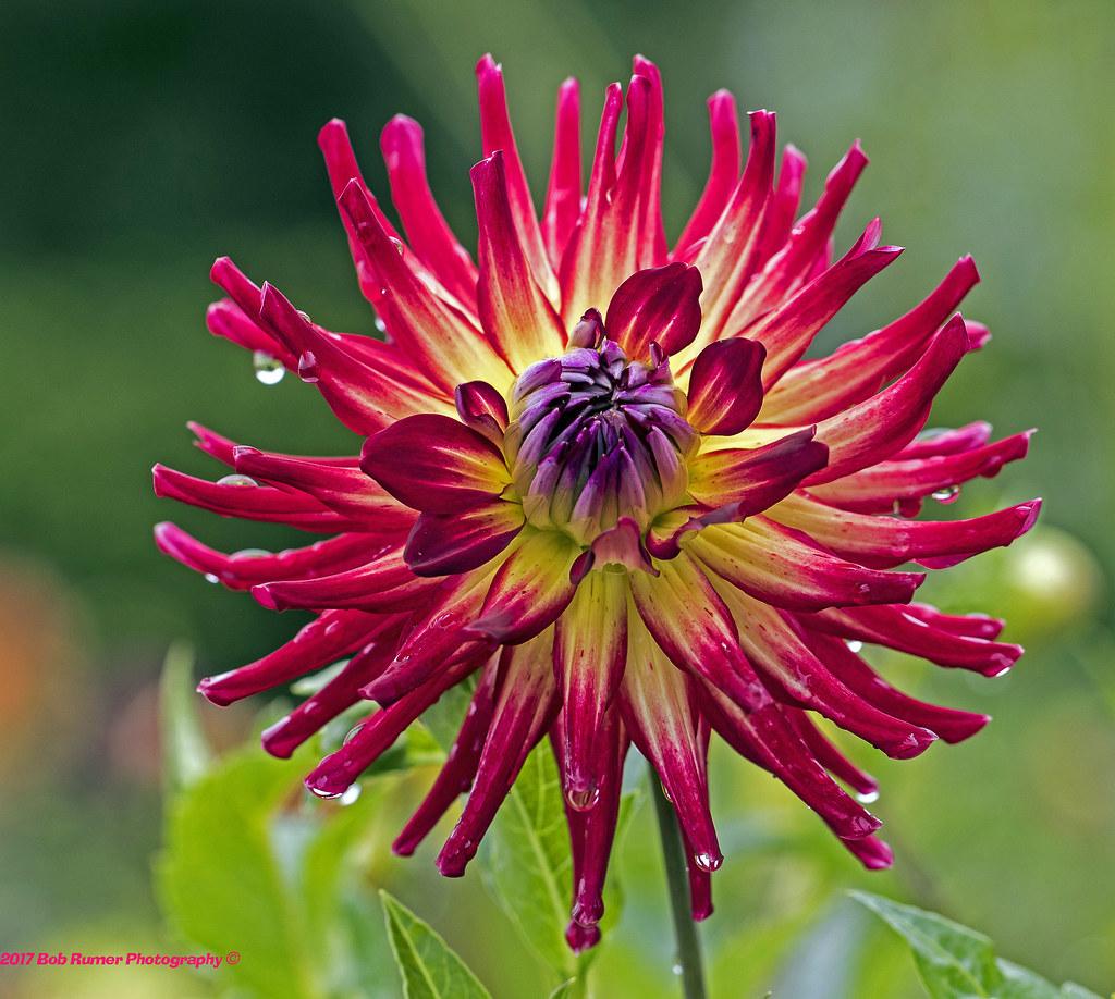 Red & Purple Dahlia