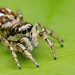 Salticus scenicus zebra jumping spider by Tibor Nagy