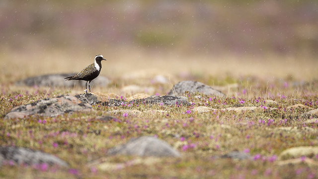American Golden Plover in, Canon EOS-1D X, Canon EF 800mm f/5.6L IS