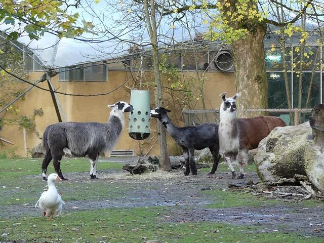 Alpaka und Lama