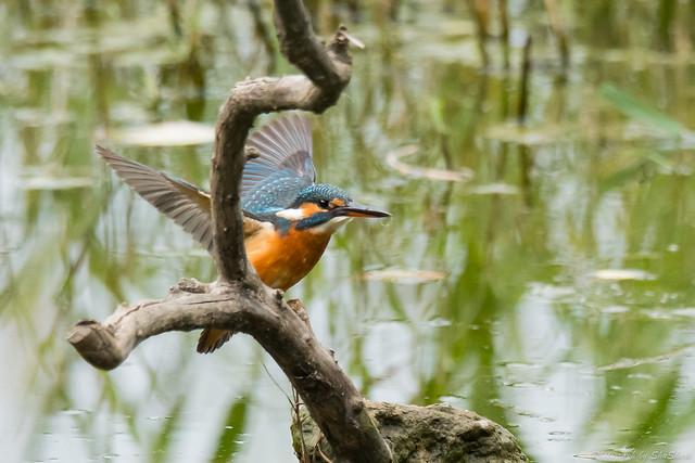 20171119-kingfisher-DSC_7768