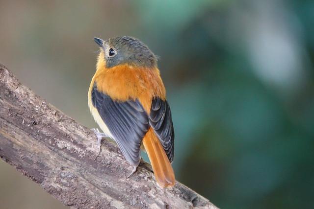 Black-and-orange flycatcher femlae
