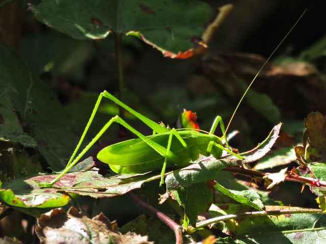 Acrididae
