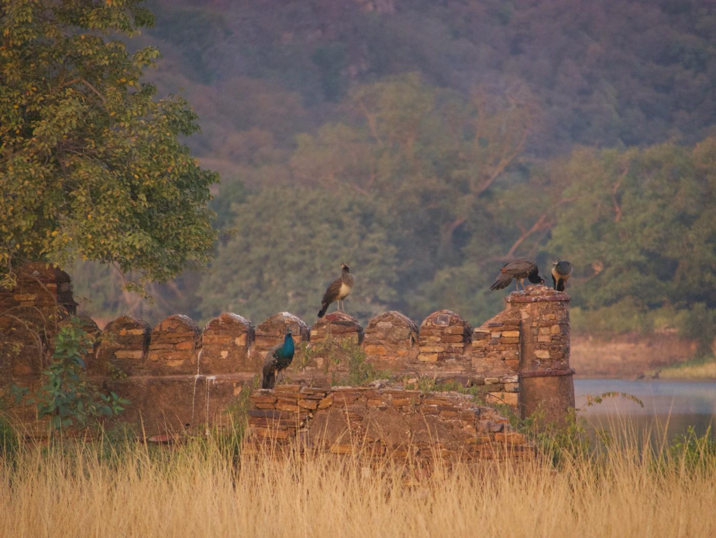094-India-Ranthambore